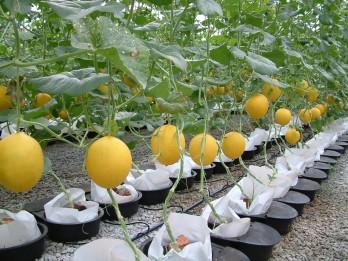 5 Jenis Buah-buahan yang Bisa Ditanam Hidroponik