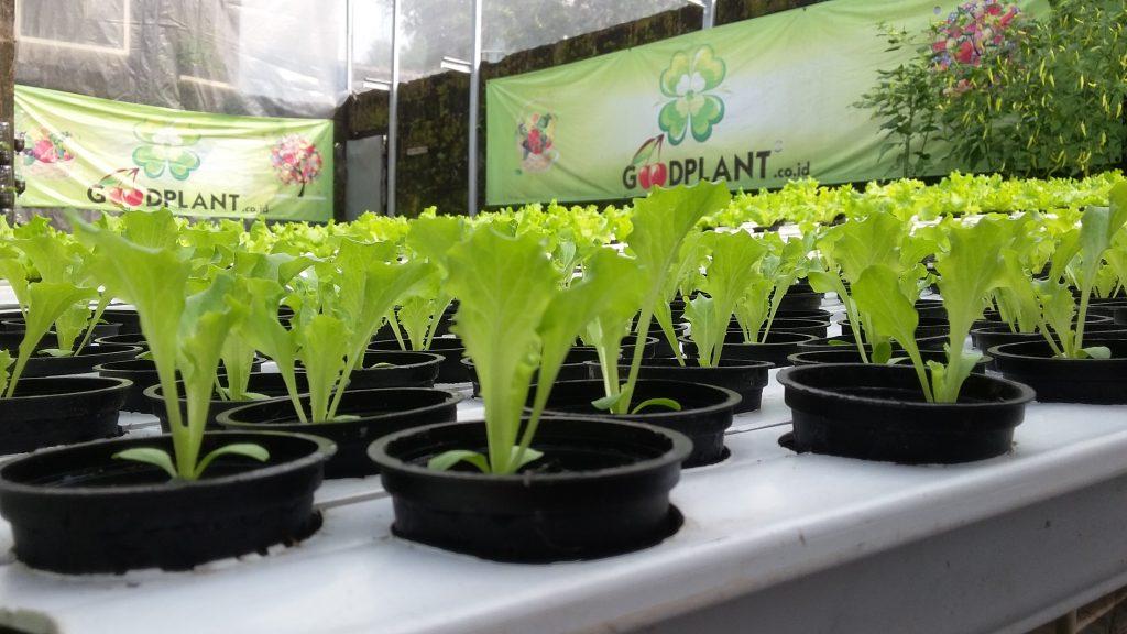 contoh tanaman hidroponik