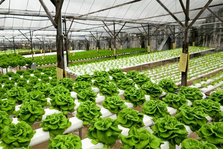 tanaman hidroponik rumahan