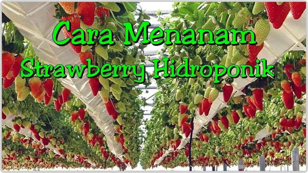Cara Menanam Strawberry Hidroponik Dengan Mudah