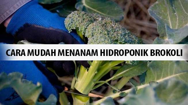 Cara Mudah Menanam Hidroponik Brokoli